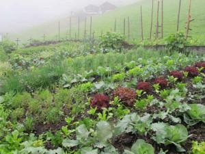 Der Gemüsegarten von Monika Hartmann im Großen Walsertal