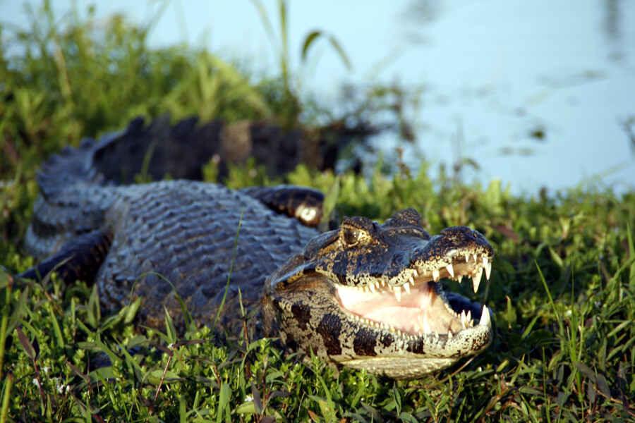 Ein Krokodil im Wasser-Garten der Sümpfe von Esteros del Iberá