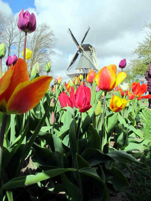 holland tulpen design im keukenhof vonreisenundgaerten. Black Bedroom Furniture Sets. Home Design Ideas