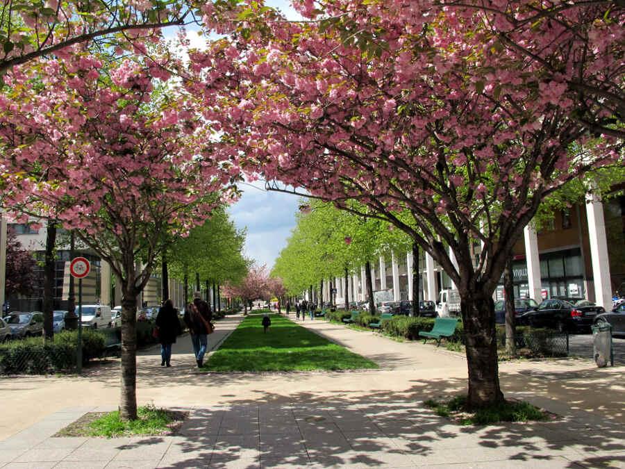 Rosa blühende Bäume zwischen Häusern in Paris
