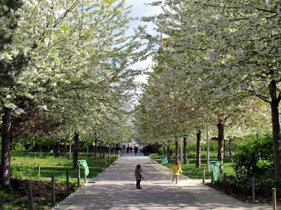 Allee aus Bäumen mit weißen Blüten und spielenden Kindern